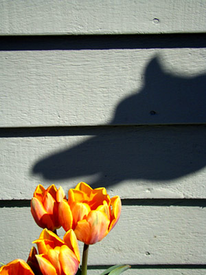 Tulip with Shadow
